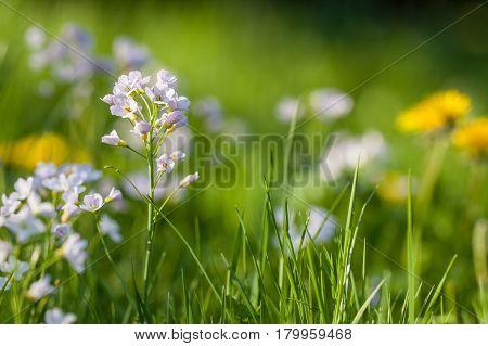 Cuckoo Flower Background