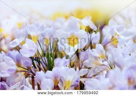 Crocus spring flowers in the meadow in spring
