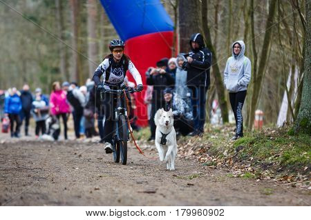 Kaliningrad Russia - March 25 2017: Dryland sled dog races during the International competition Yantarnaya Shleika 2 in a spring forest