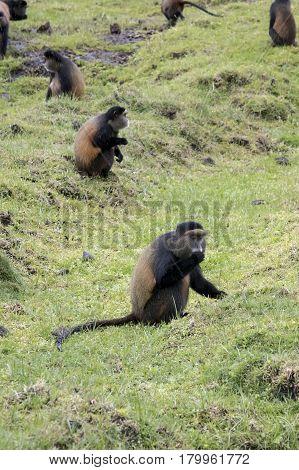 Endangered Golden Monkey, Foraging In Field,  Volcanoes National Park, Rwanda