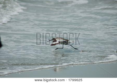Sea Bird Skimming Across The Water