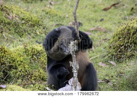 Endangered Golden Monkey Eating, Volcanoes National Park, Rwanda
