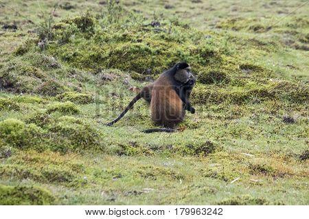 Endangered Golden Monkey At Volcanoes National Park, Rwanda
