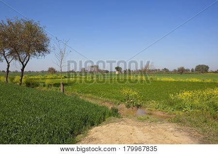 Wheat And Fodder Crops In Rajasthan