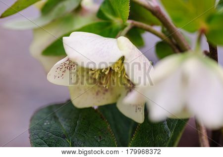 Hellebore white flowers Helleborus atrorubens in park