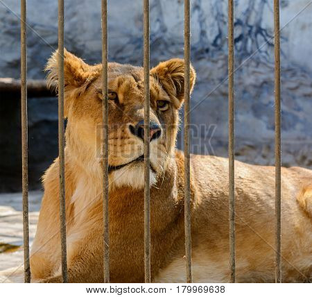 captive lioness behind the fence of cage.
