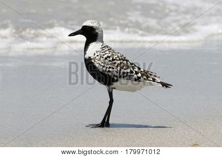 A Black-bellied Plover, Pluvialis squatarola in breeding plumage on a beach in Florida