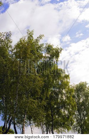 Landscape with young birch trees against cloudy blue sky