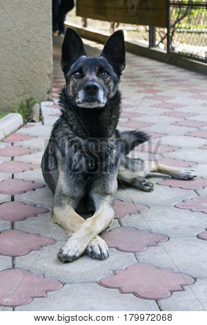 Large guard dog lying on paving yard. Dog crossed paws