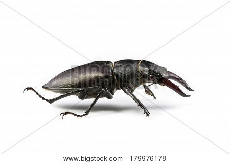 Isolated Stag Beetle