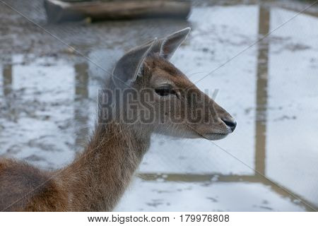 The young deer in the contact zoo