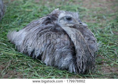 Hatchling ostrich lies on the grass in the contact zoo