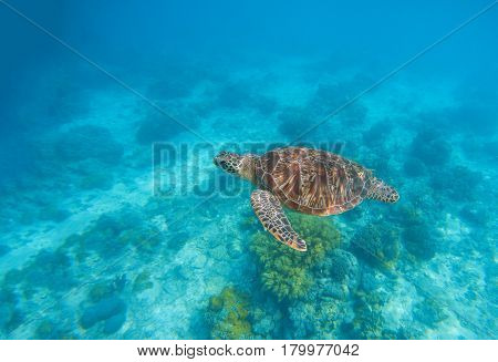 Sea turtle in water. Exotic island seaside environment in sea lagoon. Wild turtle undersea animal in blue tropical seashore. Underwater photo with tortoise. Sea turtle banner template with text place