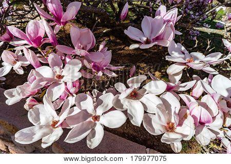Magnolia tree  flowering in France springtime Obernai