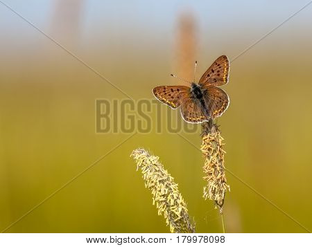 Sooty Copper Butterfly On Grass