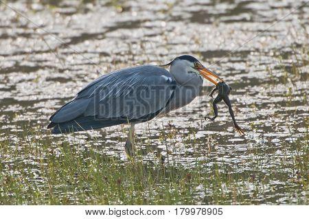 Grey Heron (Ardea cinerea) standing in a pool eating a large Marsh Frog (Pelophylax ridibundus)