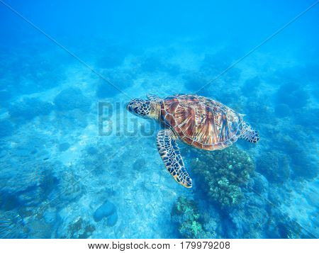 Sea turtle in shallow water. Sea bottom with sand and plants. Tropical seashore with rare marine species. Snorkeling with sea tortoise. Oceanic animal green turtle in wild nature. Underwater scene