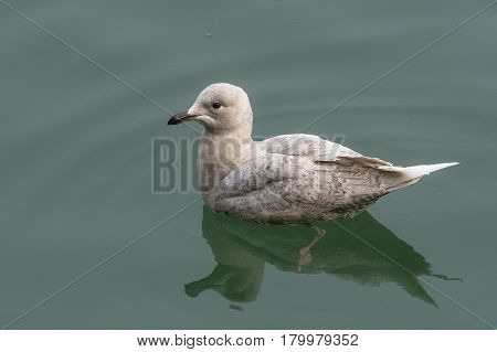 Iceland Gull (Larus glaucoides) juvenile swimming in Water of a Harbour