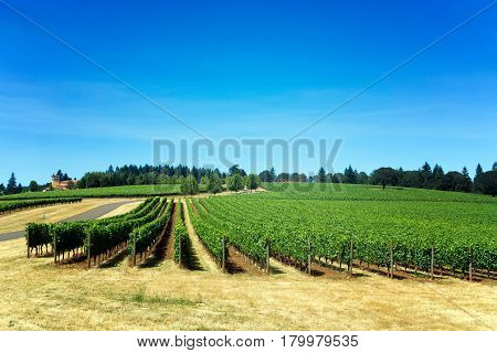 Rows of grapes for Pinot Noir in Dundee Oregon