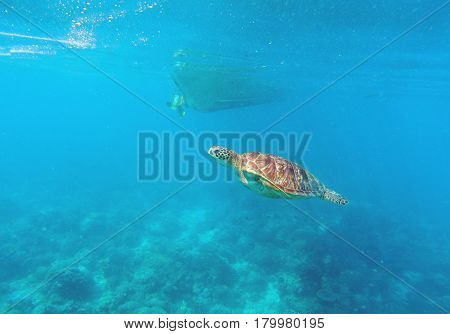 Sea turtle in seawater above coral reef. Marine animal in wild nature. Olive green turtle swims under boat bottom. Tropical lagoon scene. Underwater wildlife photo. Corals and seaweeds on sea bottom