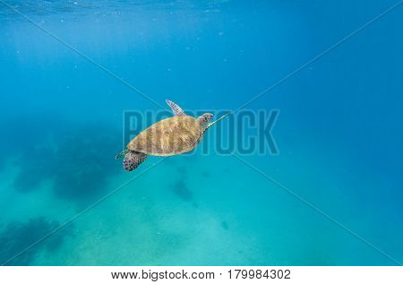 Green turtle dives in blue sea water. Sea scenery with tortoise. Wild green turtle in tropical lagoon. Oceanic environment with animals and seaweeds. Marine ecosystem. Vibrant scene in exotic lagoon