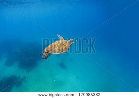Green turtle dives in blue sea water. Sea landscape with tortoise. Wild green turtle in tropical lagoon. Oceanic environment with animals and seaweeds. Marine ecosystem. Vibrant scene in exotic lagoon