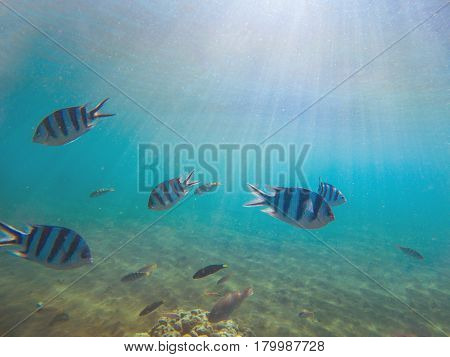Tropical fish Sergeant in shallow water under sunlight. Underwater photo with coral fishes colony. Yellow black striped fishes in tropical seashore. Turquoise seawater with sunlight rays and animals
