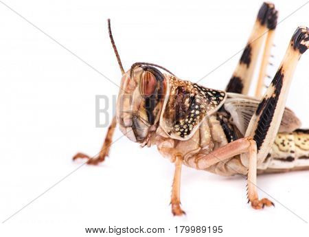 Desert locust on white background. Macro photo.