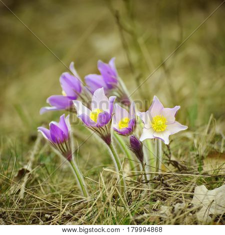 Pasque-flower growing in nature, macro spring floral background