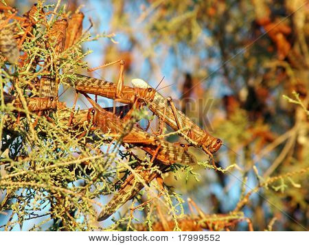 A tree covered by plague of locusts
