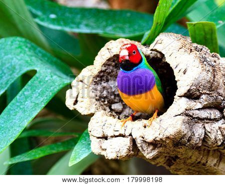 Colorful bird amadina sitting on a tree (Chloebia gouldiae)