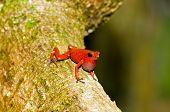 Singing male of the strawberry poison frog (Oophaga pumilio) shot in Costa Rica, Grandoca-Manzanillo wildlife refuge. poster