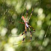 A Golden Silk Orb-weaver (Nephila clavipes) hangs on its web. poster