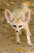 Fennec fox (desert fox )at a wildlife shelter poster
