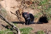 Looks cute but better watch out for the vicious Tasmanian Devil! poster