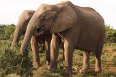 Two African Elephant cows (Loxodonta africana) graze in the Addo Elephant National Park. poster