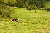 Cows and horses grazing in the valley of Cocora Quindio province between the mountains of the central cordillera of Colombia. Area cattle and coffee production it increases the wax palm the national symbol of Colombia. poster