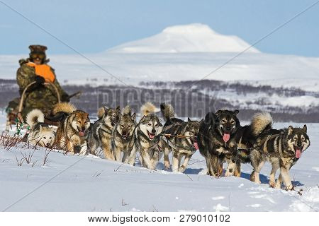 Dog Sled. Alaskan Malamute Is Quite A Large Aboriginal Type Dog, Designed To Work In A Team, One Of