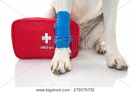 Injured Dog. Close Up Paw Labrador   With A Blue Bandage Or Elastic Band On Foot And A Emergency  Or