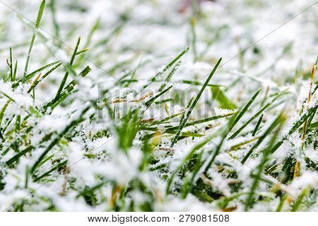 Green Grass Under The Snow. Grass Covered With Snow. White Snow And Green Grass Background. Grass On