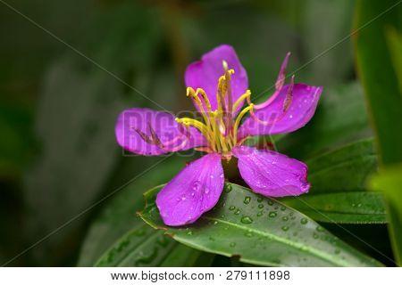 Pink purple flower of Singapore Rhododendron, Malabar Melastome growing in Singapore, Asia (Melastoma malabathricum L.)