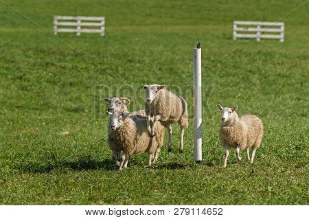 Sheep (ovis Aries) Jumps As Group Passes Pole On Stock Dog Herding Trial Course - At Sheep Dog Herdi