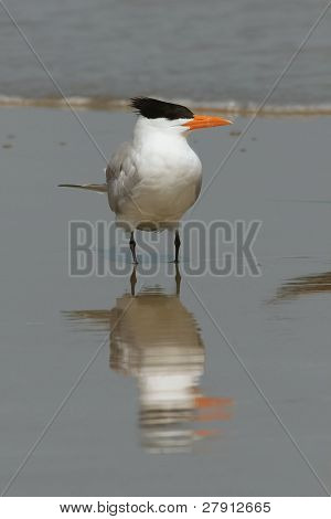 Royal Tern - Cumberland Island Georgia