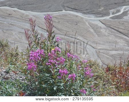 Fireweed Brightens The Stark Landscape Along The Park Road In Denali National Park