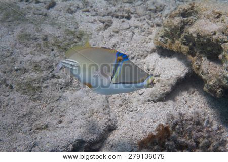 Picassofish On Coral Reef In Red Sea Off Eilat, Israel