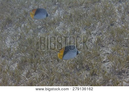 Threadfin Butterflyfish Over Seagrass In Red Sea Off Dahab, Egypt