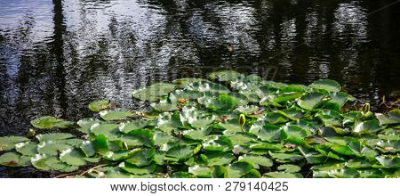 Aquatic garden with fresh water lilies on pond. Lotus plant on dark color lake. Nature background, copyspace, banner, wallpaper.