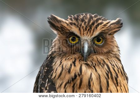Malay or Buffy fish owl close-up portrait. Nocturnal bird of prey Ketupa ketupu with yellow eyes and raised ear tufts.
