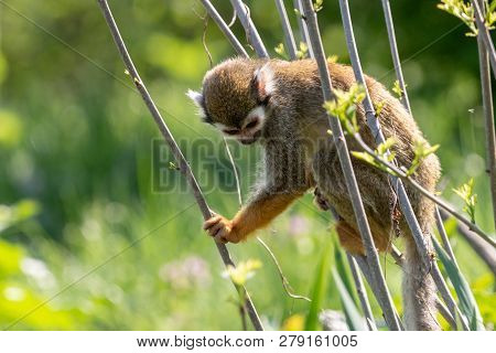 Little squirrel monkey looking down holding orange hand on the twig. Saimiri sciureus sitting on thin branches with blurred green background.