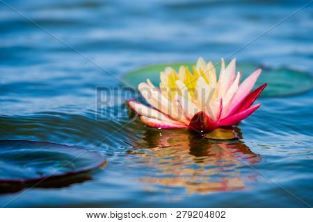Light Pink Of Water Lily Or Lotus With Yellow Pollen On Surface Of Water In Pond. Side View And Peac